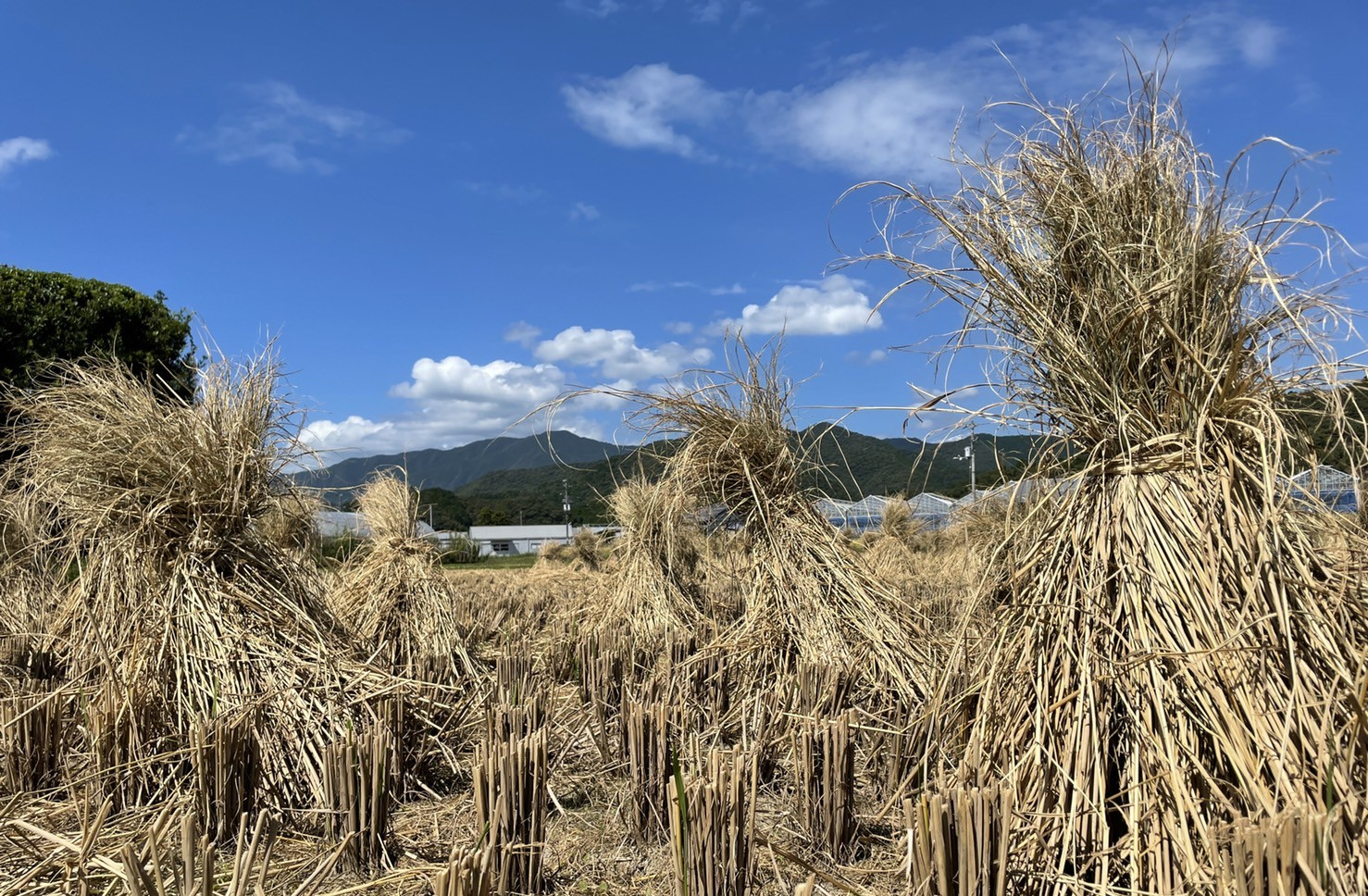 タタキ用の藁